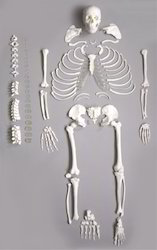 Deluxe Life Size Human Disarticulated Skeleton Model