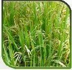 Hybrid Paddy-Kanchan