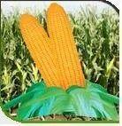 Hybrid Maize-Dinesh