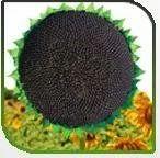 Hybrid Sunflower-Hiranya