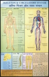 Skeleton & Circulatory System For First Aid Chart