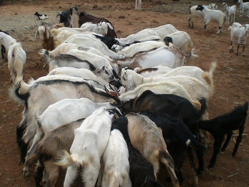 SSS Goat Farms, Namakkal - Manufacturer of Goat Farms and Goat