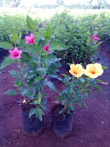 Hibiscus Plants View Specifications Details Of Flowering Plant
