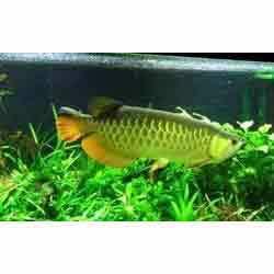 Green Arowana Fish