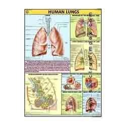 HP24S-Human Lungs