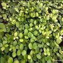 Zamia furfuracea seedlings /Cardboard Palm (Cycads)