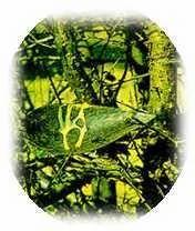 Commiphora Mukul Extract- Gugulsterones 2.5