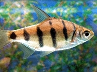 Zebra Barb Fish