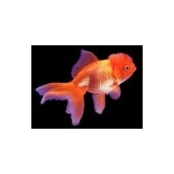 Veil Tail Tiger Red Oscar Fish