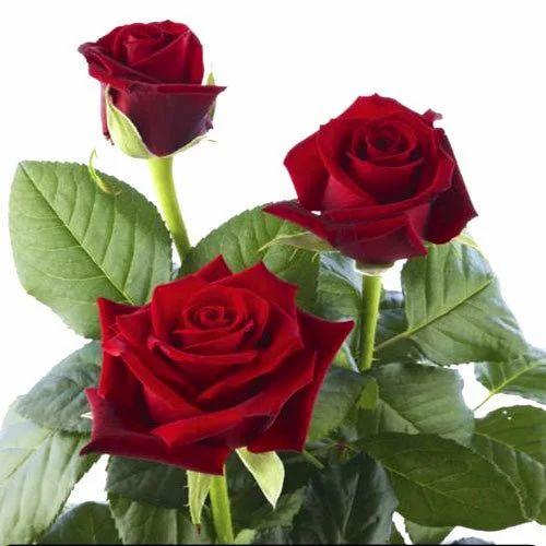 Red Rose Flowers Rose Flowers Wilson Garden Bengaluru Crazy