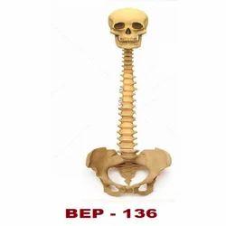 Human Vertebral Column with Skull ( BEP-136 )