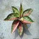 Red Aglaonema Legacy Plants