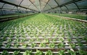 Hydroponics Cultivation Consultancy