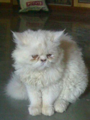 Persian kitten price in india