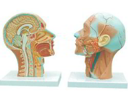 Human Half Head & Neck With Musculature