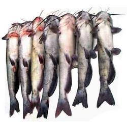 Cat Fishes