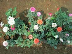 Flowering Plant In Thrissur Kerala India Indiamart