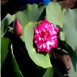 Lotus plant wholesale price mandi rate for lotus plant sahasradal kamallotus with 1000 petals pool plants mightylinksfo