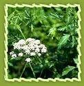 Fennel Seeds & Fennel Roots (Pimpinella Anisum)