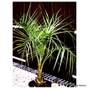 Butia Capitata(Jelly palm/ Palm Plants/ Palm Tree/ Palms)
