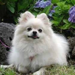 Top German Spitz Canine Adorable Dog - pomeranian-dogs-250x250  Collection_421171  .jpg