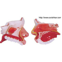 Model of The Anatomical Nasal Cavity