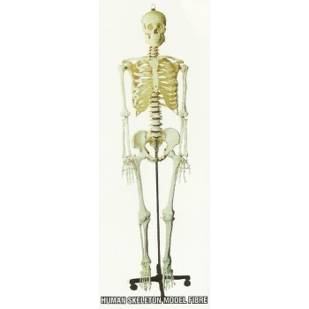 Human Skeleton Model Fibre View Specifications Details Of Human