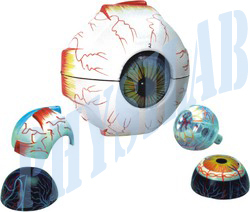 Physilab Natural Human Eye Model-3 Times, Full Size -7 Parts for Laboratory