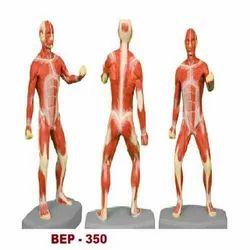 Muscular Body Model ( Tall 85 CM ) ( BEP-350 )