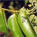 Cinnamomum Tamala