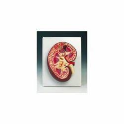 Kidney Section Model