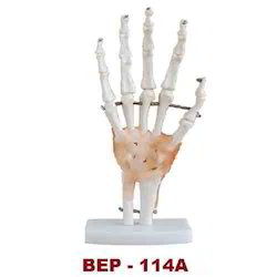 Life-Size Hand Joint With Ligaments ( BEP-114A )