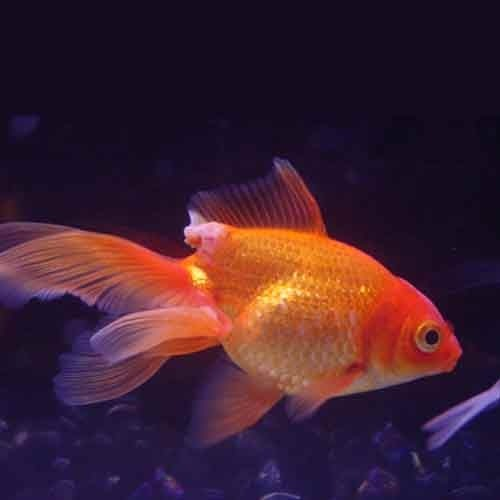 Black Moor Gold Fish Size Normal Hiran Fish Aquarium Id 3292813912
