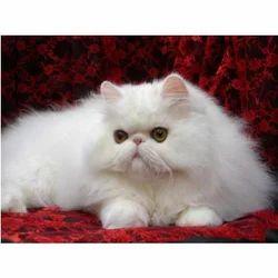 Persian cat kitten price in india