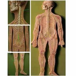 Nervous System ( BEP/A18101 )