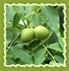 Walnut, Persian Walnut, European Walnut