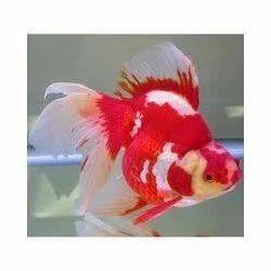 Ornamental Aquarium Tropical Fish