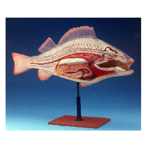 Fish Anatomy Model - View Specifications & Details of Zoology Models ...