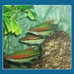 Indian Wild Aquarium Fishes