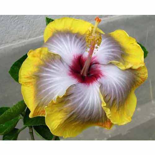 Hibiscus Plant At Rs 300 Piece Garden Plant Id 1484450112