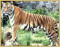 Exploring Tiger Land