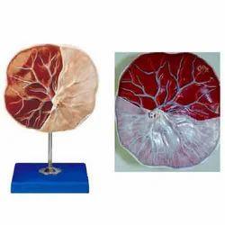 Human Placenta ( BEP/A42010/1 )