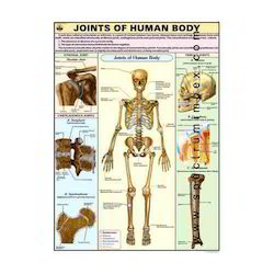 HP25S-Joints Of Human Body