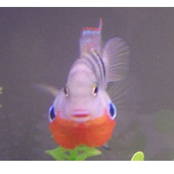 Firemouth Meeki Fish View Specifications Details Of Cichlid By