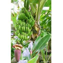 Banana Fruit Plant