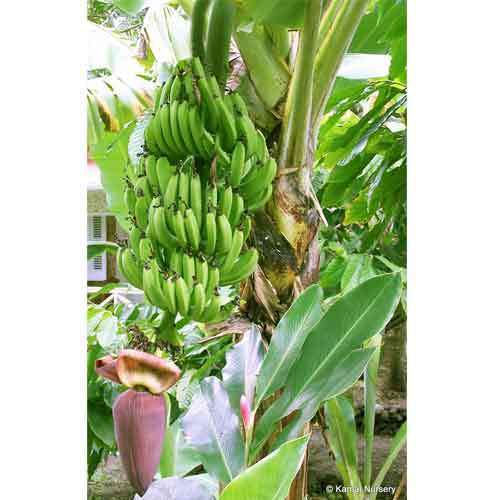 Banana Fruit Plant At Rs 20 Piece