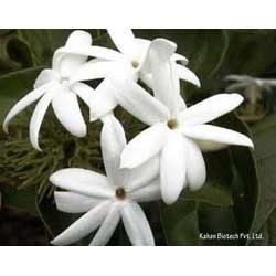 Jasmine Sambac Extract