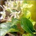 Clerodendron Serratum