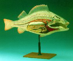 Fish Anatomy (Perch)