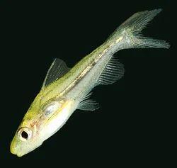 Brozen Catfish